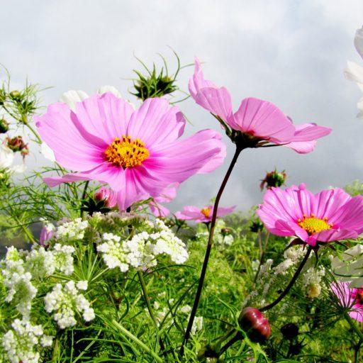 cropped-blommor.jpg